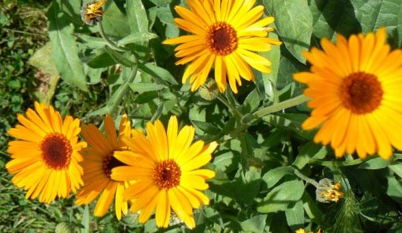 Des fleurs de souci pour des reflets cuivrés | LBC